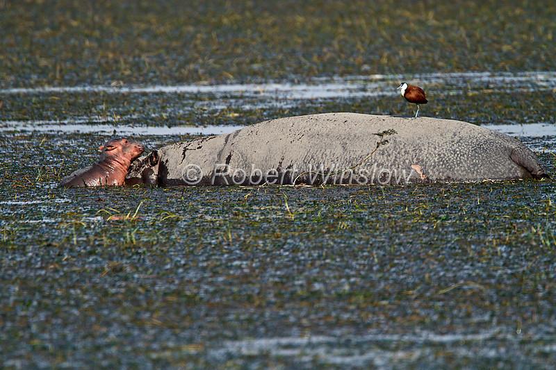 Mother and Baby Hippopotamus, Hippopotamus amphibius, Amboseli National Park, Kenya, Africa