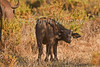 African Buffalo or Cape Buffalo calf, Syncerus caffer, Samburu National Reserve, Kenya, Africa