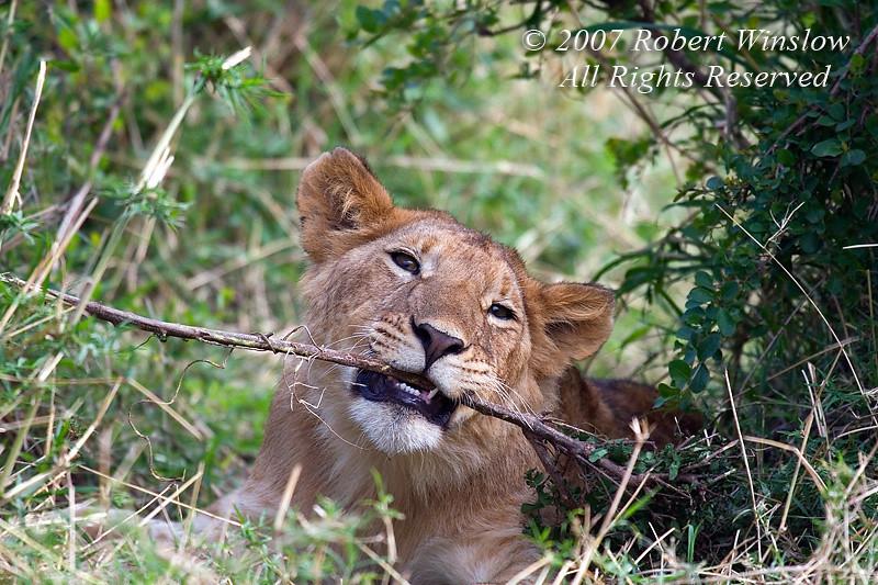 African Lion Cub Chewing on a Stick, Panthera leo, Masai Mara National Reserve, Kenya, Africa