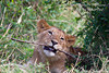African Lion Cub Chewing on a Stick, Panthera leo, Masai Mara National Reserve, Kenya, Africa
