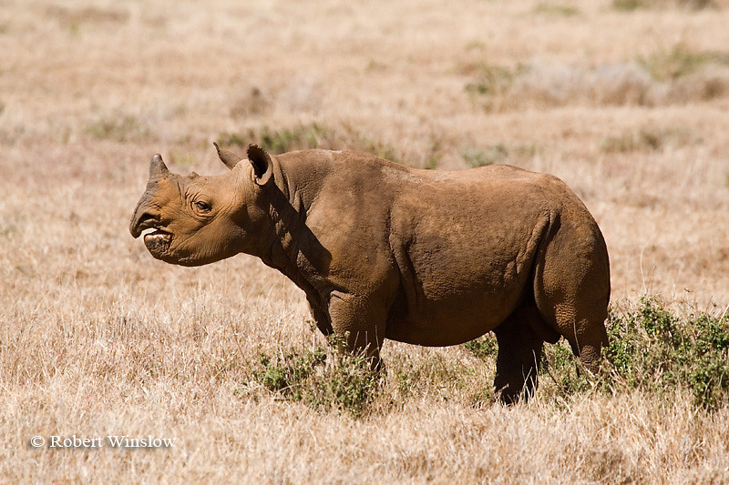 Black Rhinocerous Calf (Diceros bicornis), Lewa Wildlife Conservancy, Kenya, Africa
