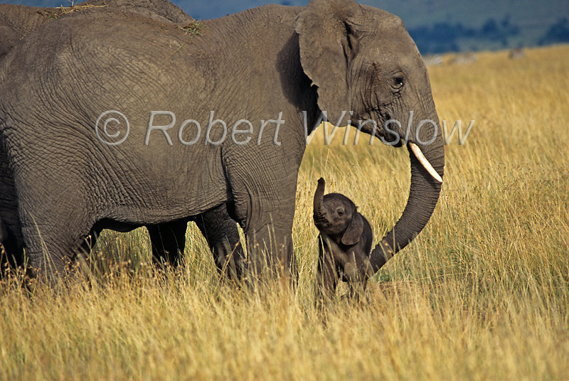 African Elephant, Loxodonta africana, Mother with Baby Less than one hour old, Masai Mara National Reserve, Kenya, Africa,  Proboscidea Order, Elephantidae Family