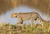 Baby Cheetah, Acinonyx jubatus, Masai Mara National Reserve, Kenya, Africa