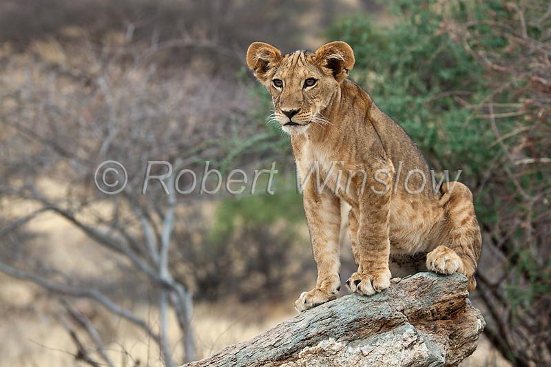 African Lion Cub, Panthera leo, Samburu National Reserve, Kenya, Africa