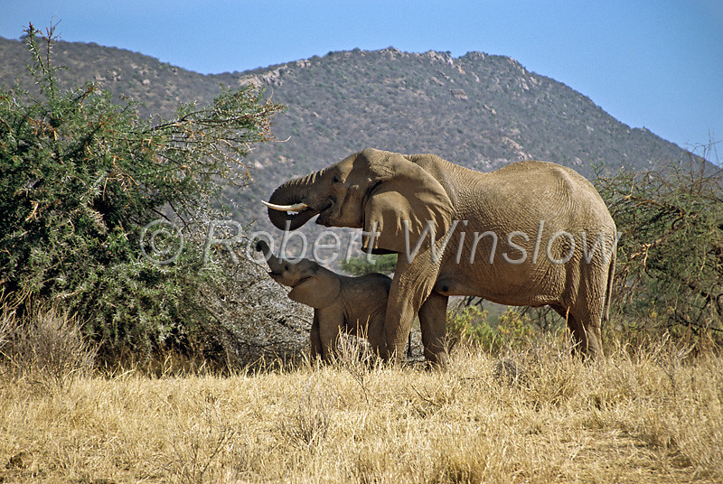 Mother and Young African Elephants, Eating, Samubur National Reserve, Kenya, Africa, Proboscidea Order, Elephantidae Family