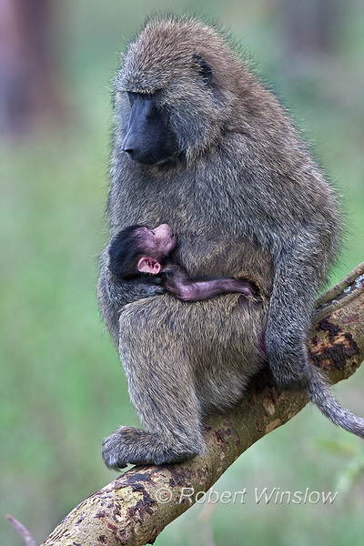 Mother and Baby Olive Baboons, Papio anubis, Lake Nakuru National Park, Kenya, Africa