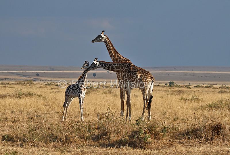 Masai Giraffe, Giraffe camelopardalis tippelskirchi, Masai Mara National Reserve, Kenya, Africa