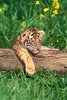 Resting four month old Tiger Cub, Pantera tigris tigris, controlled conditions