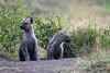 Baby Spotted Hyenas, Crocuta crocuta, Den Site,  Masai Mara National Reserve, Kenya, Africa