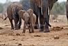 Young, African Elephant, Loxodonta africana, Tsavo East National Park, Kenya, Africa, Proboscidea Order, Elephantidae Family