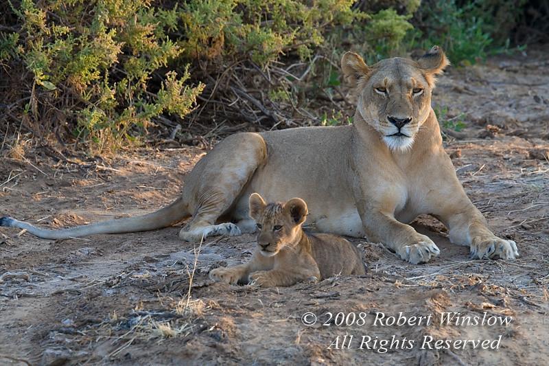 Female African Lion with cub, Panthera leo, Samburu National Reserve, Kenya, Africa