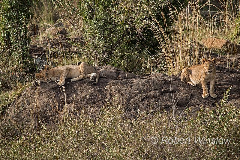 African Lion Pride with Cubs, Panthera Leo, Masai Mara National Reserve, Kenya, Africa