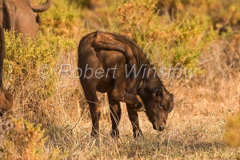 African Buffalo or Cape Buffalo, Syncerus caffer, Samburu National Reserve, Kenya, Africa
