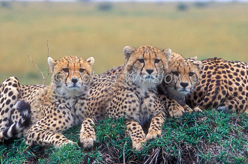 Three Juvenille Cheetahs, Acinonyx jubatus, Masai Mara National Reserve, Kenya