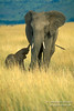 African Elephants, Mother with Baby that is less than one hour old, Masai Mara, Kenya