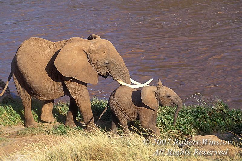 Mother and Baby African Elephant, Ewaso Ngiro River, Samburu National Reserve, Kenya