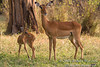 Mother and Baby Impala (Aepyceros melampus), Samburu National Reserve, Kenya, Africa, Artiodactyla Order, Bovidae Family