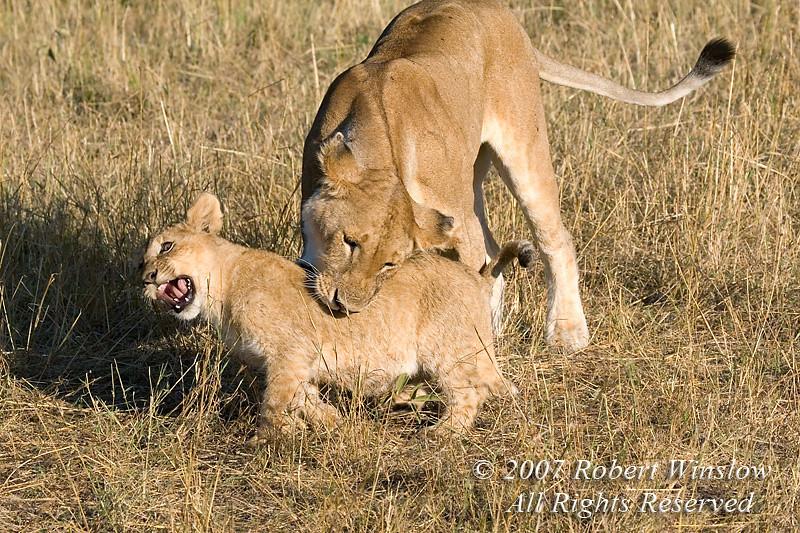 African Lions, Mother biting young, Panthera leo, Red Oat Grass, Masai Mara National Reserve, Kenya, Africa