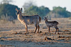 Common Waterbuck, Kobus e. ellipsiprymnus, Mother with Baby, Tsavo East National Park, Kenya, Africa