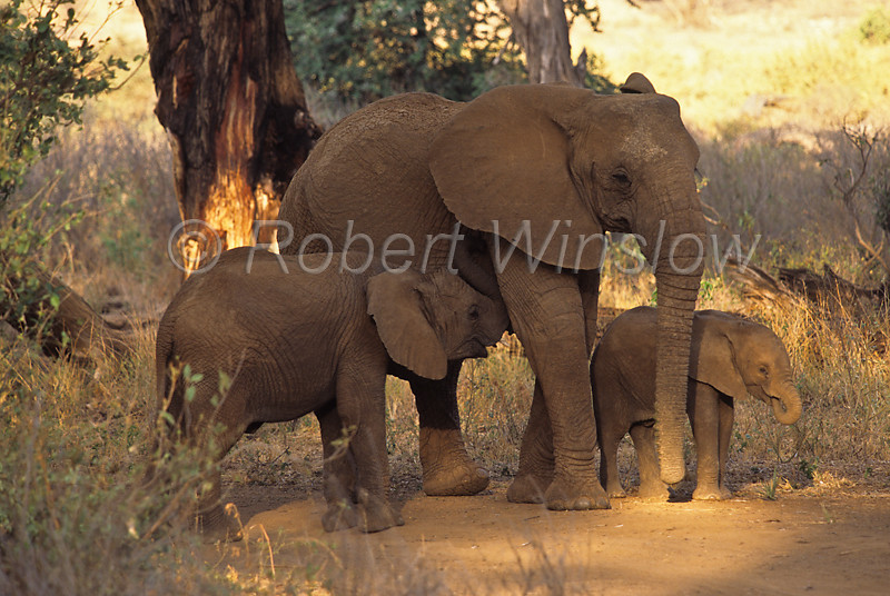 African Elephants,  Loxodonta africana, Samburu National Reserve, Kenya, Africa, Proboscidea Order, Elephantidae Family