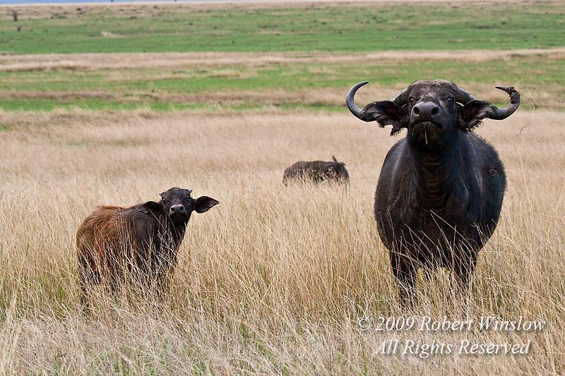 African Buffalo, Syncerus caffer, Mother and Calf, Masai Mara National Reserve, Kenya, Africa