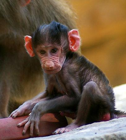 Baby Baboon.