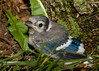 Baby Blue Jay<br /> June 26, 2009