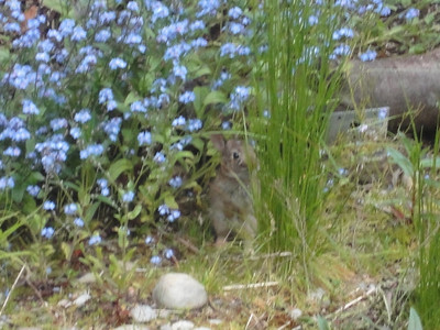 Baby Bunny Rabbitt (May 2011)
