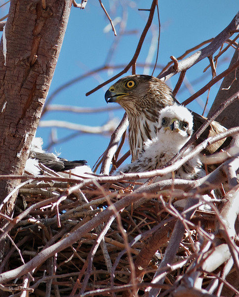 Mother Cooper Hawk And Chicks