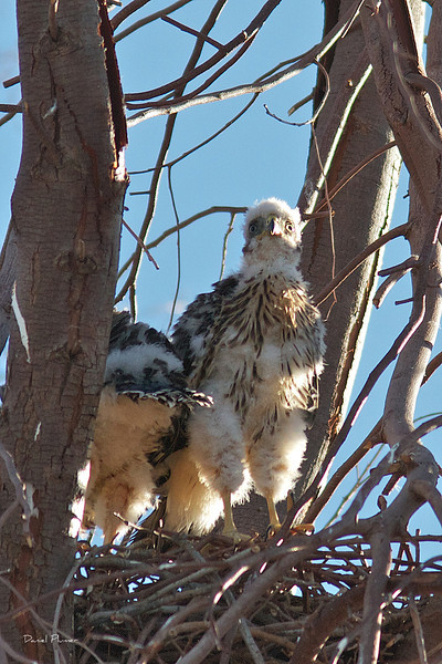 Hawk Chicks