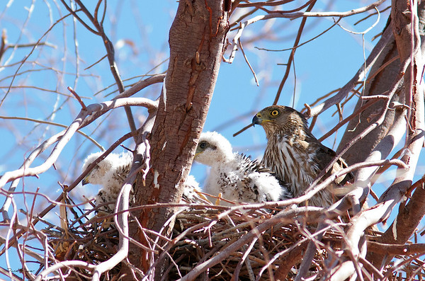 Mother Cooper Hawk And Chick