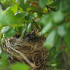 Baby robin nest in the rose bush, 2014