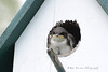Baby Swallow (2)