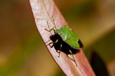 Green Shieldbug