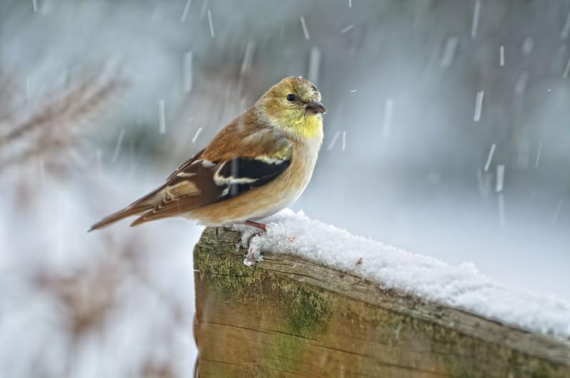American Goldfinch  --  Spinus Tristis