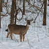 Deer looking for dinner behind our house.