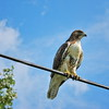 This hawk hunts in the field behind my house every morning. Today he decided to come up to the house and say hello.