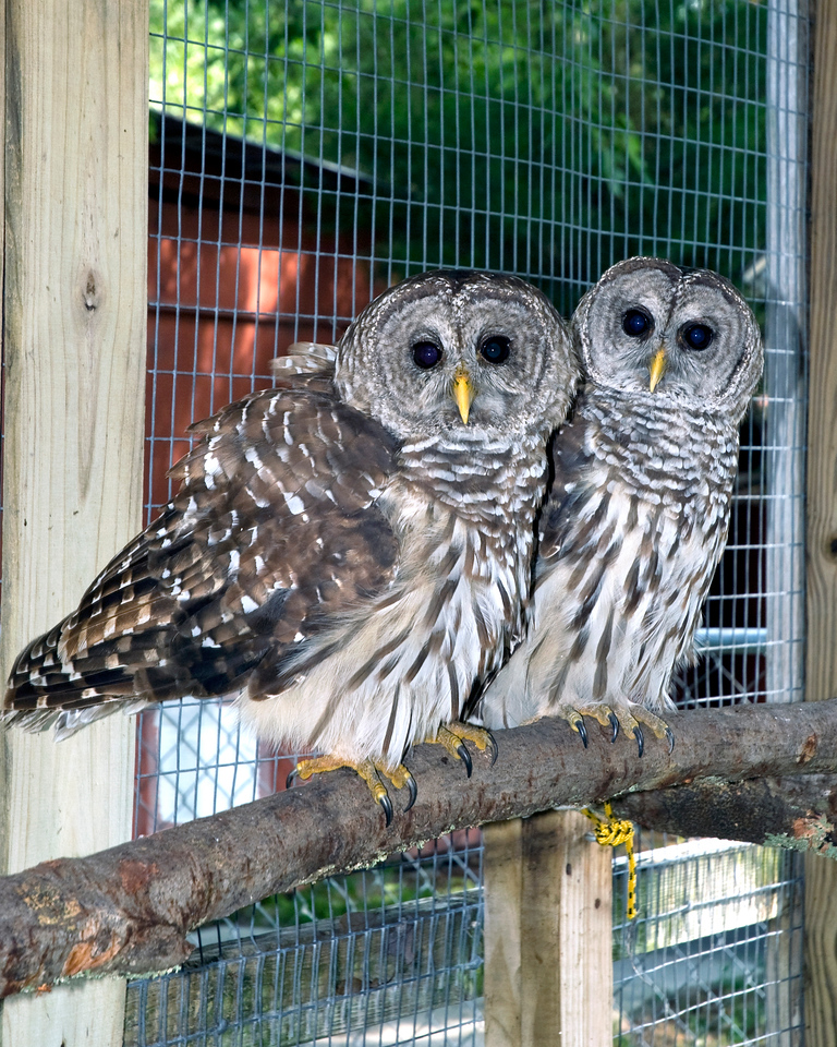 "This pair of Barred Owls looks on curiously as their pictures were taken. ""Mongua"" and ""Munchkin"" both have only one wing and cannot be released back into the wild."