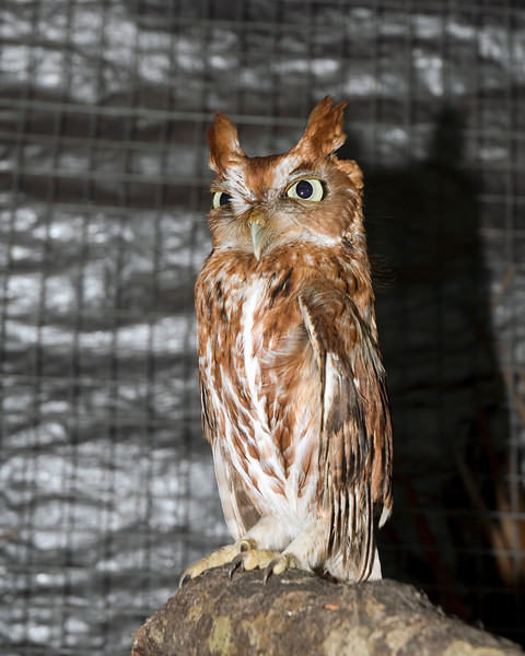 This screech owl is one of four at the Back to Nature Wildlife Refuge.