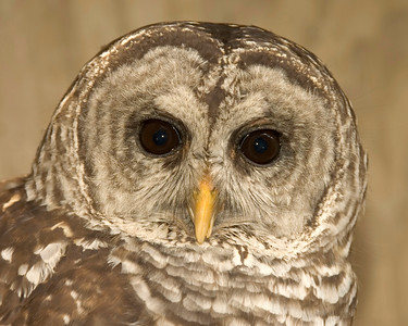"""""""Mongua"""" is a Barred Owl.  He is a permanent resident as he is missing a wing."""