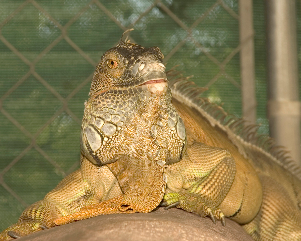 Spike, an Iguana, loves to sun himself under the heat lamps while resting on the rocks in his enclosure