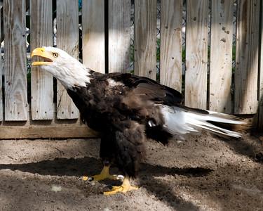 Winnie, a Bald Eagle.