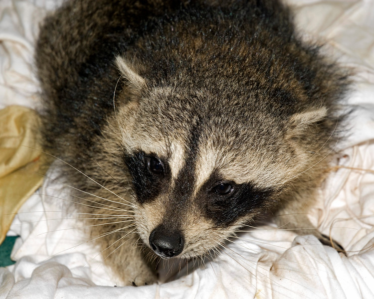 """Pudge"" is a Dwarf Raccoon."