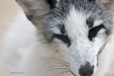 Spencer, an Arctic Fox