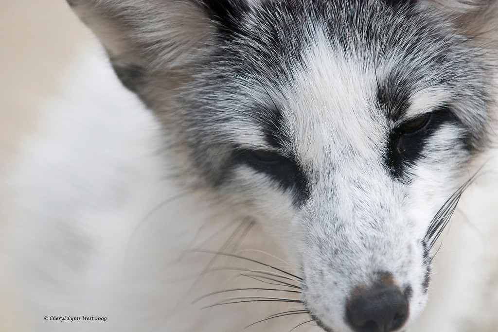 Spencer, an Arctic Fox