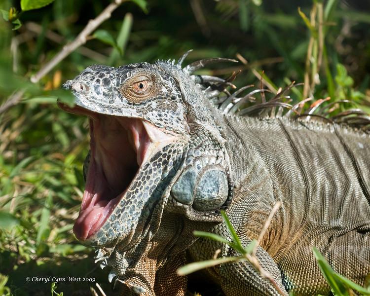 Spike, an Iguana