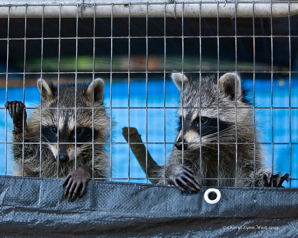 "Baby Raccoons - ""Great - 25 to life and I get you as a cell mate."""