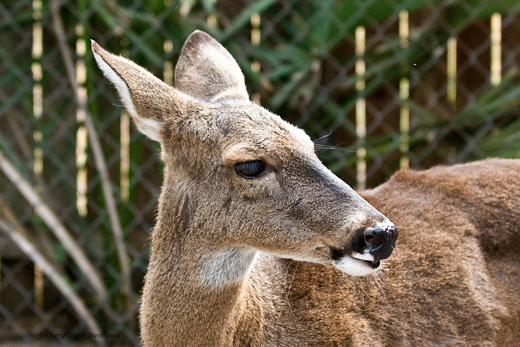 Babbette, a White Tailed deer, will be celebrating her 21st birthday shortly.  She wants to know if there will be a party.