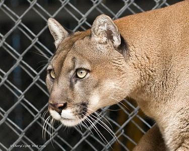Zema, a Cougar