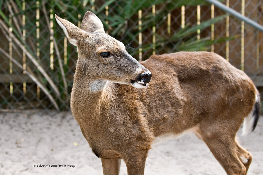 Babbette, a White Tailed deer, will be celebrating her 21st birthday shortly.